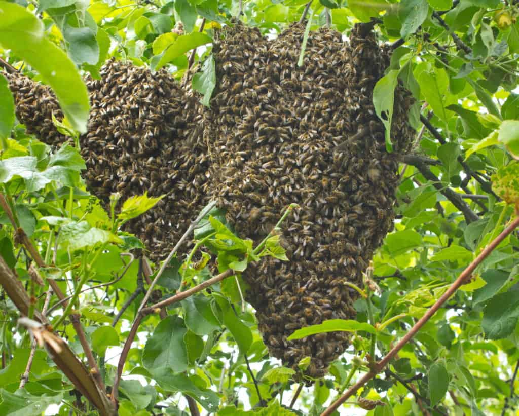 Bees-Swarm-In-Tree