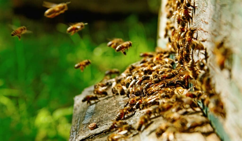 Bees-entering-hive