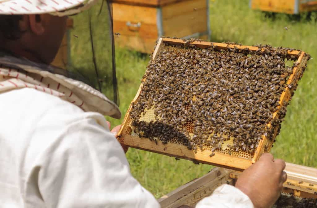 Inspecting-Bee-Frame