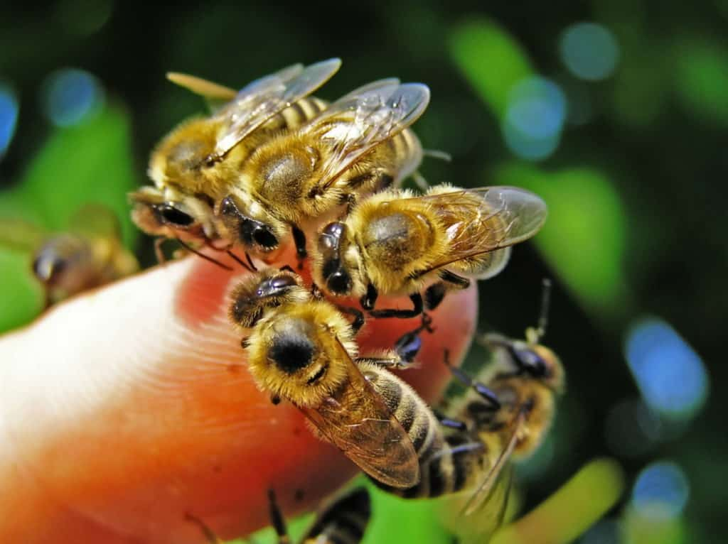 bees-grouped-on-human-hand